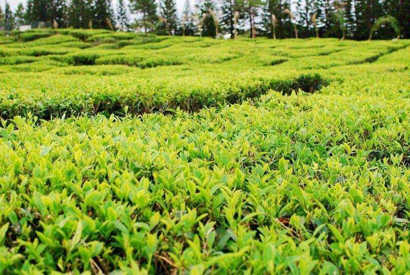 Bois Cheri Tea Plantations